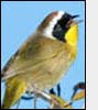 Photo: Common Yellowthroat