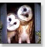 Photo: Young Barn Owls