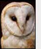 Photo: Adult Barn Owl
