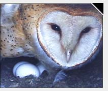 Photo: Barn Owl with Eggs