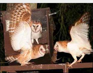 Photo: Barn Owls with Gopher
